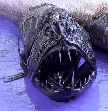deepest fish in ocean | Fangtooth Fish2 Top 10 Most Diabolical Fish On Earth
