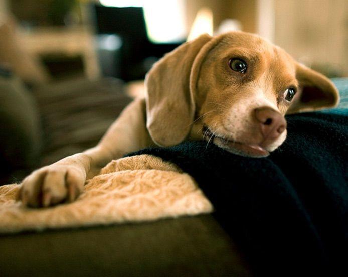 Conoce cómo detectar un embarazo psicológico en tu perra y también a saber qué hacer para ayudarla.