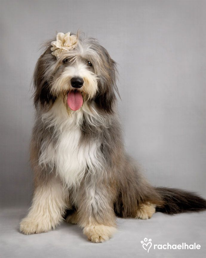 Willow (Bearded Collie) - Gracefully poised, bloom in her hair, no other puppy can compare