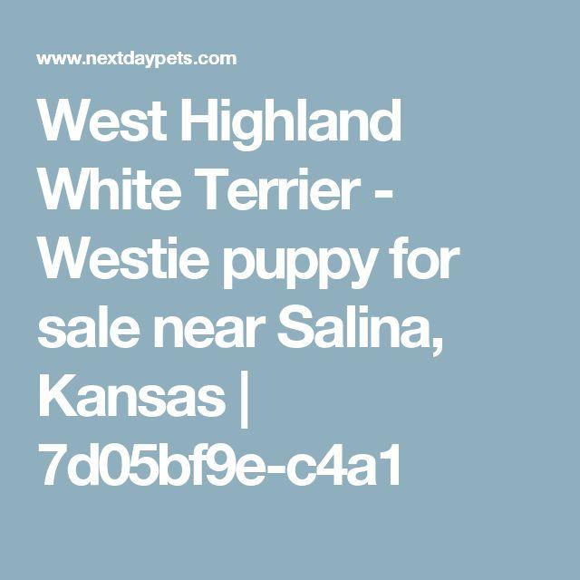 West Highland White Terrier - Westie puppy for sale near Salina, Kansas | 7d05bf9e-c4a1