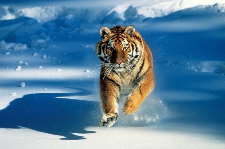 Os tigres eram encontrados em grande parte da Ásia. Habitavam lugares tão diversificados (florestas tropicais, pântanos e savanas) que acabaram evoluindo em populações regionais com padrões e tamanhos distintos, a ponto de serem classificadas em subespécies diferentes, incluindo o tigre-siberiano (Panthera tigris altaica). Hoje, a maioria está extinta.