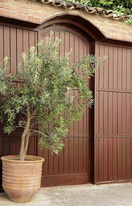 Arbequina Olive is hardy for our climate. It can be damaged in a hard freeze.