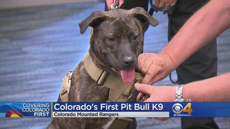 NEWS - CBS COLORADO DENVER -  Colorado Mounted Rangers Welcome First Pitbull K9 - 13.07.2017