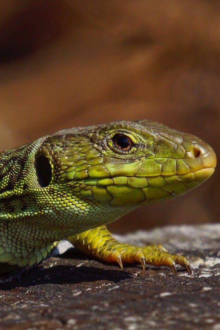 Wildlife Animals Mammals Lizard With Images Cat Pet