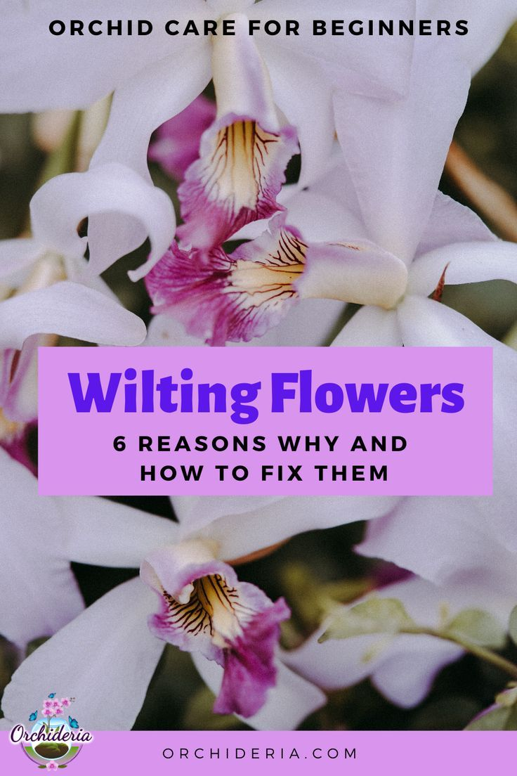 Wilting Orchid Flowers 6 Reasons And How To Fix Them Orchideria In 2020 Orchid Flower Wilted Flowers Orchids