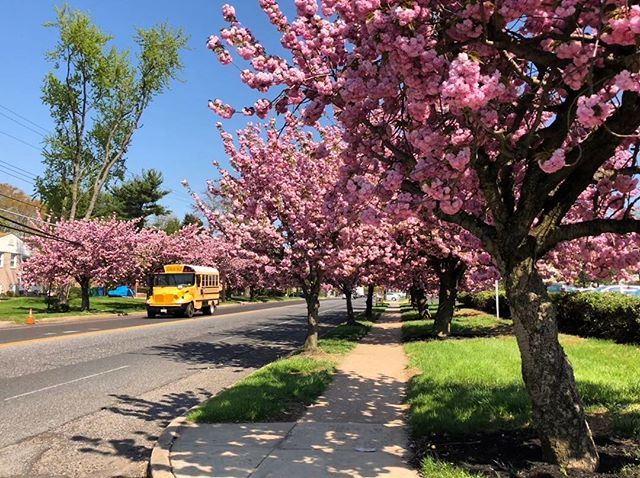 Cherry Hill Cherry Blossoms Cherryblossom Cherryblossoms Trees Spring Springtime Blossom Treesinblossom Tree Photography Sidewalk Structures