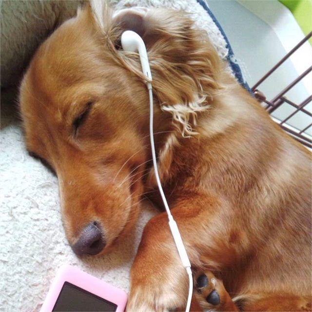 妹家愛犬ちゃむ 音楽聴いてネムネム と言いたいとこですが寝てる ちゃむちゃんにイタズラです音無しカミカミ期なので見つかったらヤバイ❗️ #ダックス #ミニチュアダックス #妹家族 #愛犬 #犬 #イヌ #わんこ #イヤホン #音楽聴いてる #ネムネム #イタズラ #熟睡中 #ヤバイ #音無し