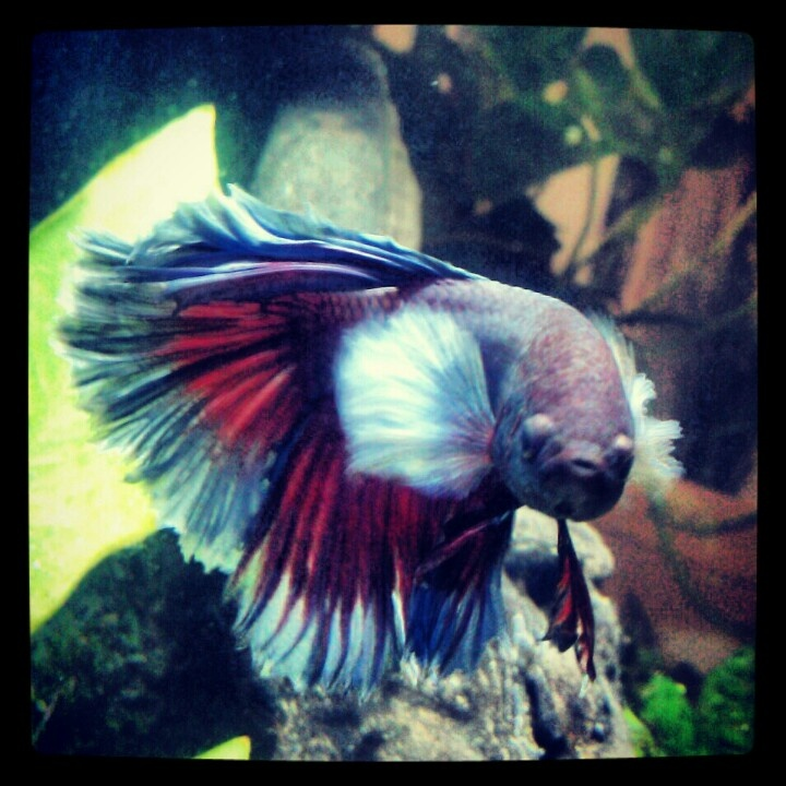 17 best images about betta fish on pinterest copper for Elephant ear betta fish