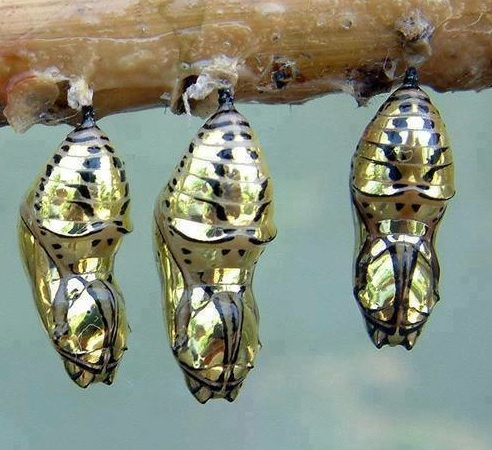 <3 The chrysalis of the Metallic  Mechanitis Butterfly from Costa Rica <3 amazing! <3