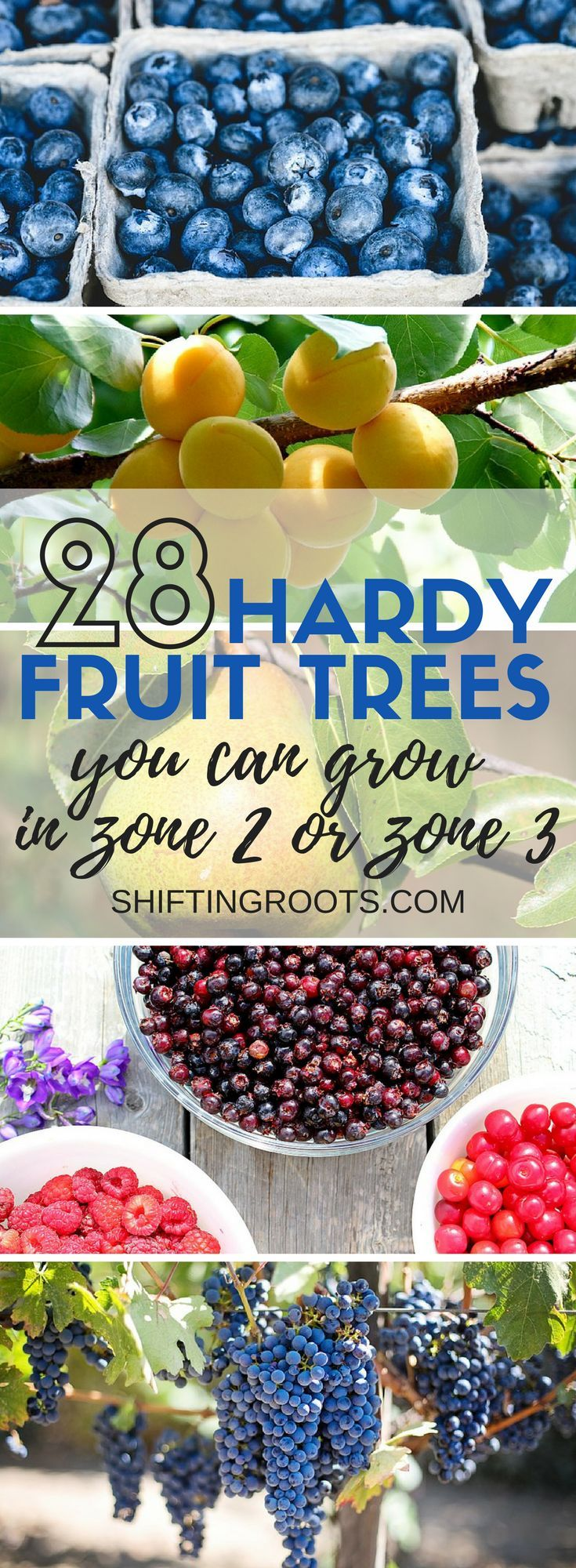 Want to plant hardy fruit trees in zone 2 or zone 3?  I've got 28 hardy fruits you can grow that are perfect for the cold climate backyard, garden, or landscape.  I've included lots of suggestions for my favourite varieties of apples, sour cherries, pears, raspberries, blueberries, grapes, and so much more.  Perfect for gardens in Canada! #gardening #fruittrees #hardyfruittrees #zone2 #zone3 #growfruit #fruitgrower #coldclimategardening #gardeninginCanada via @shifting_roots
