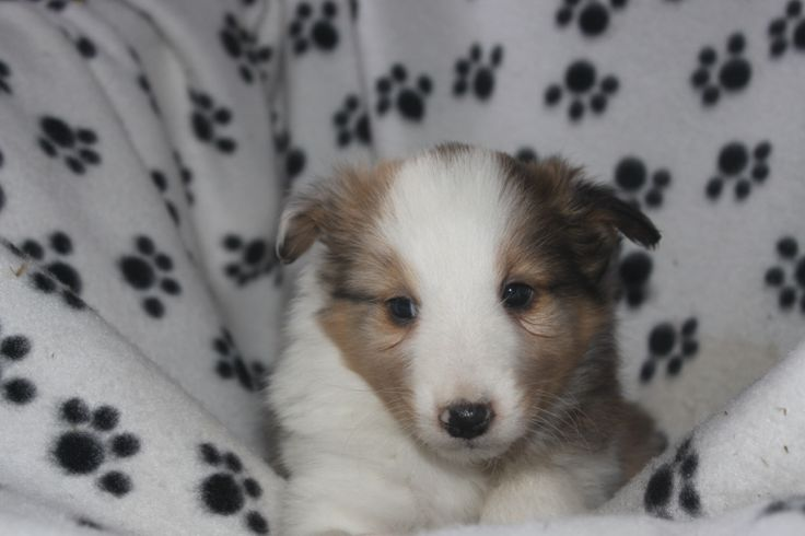 Sheltie Puppies For sale - This is a cute sheltie puppy posted at http://www.network34.com