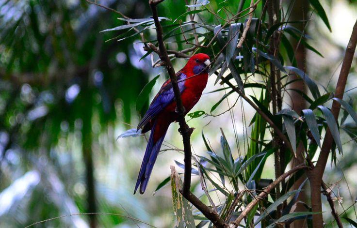 Crimson Rosella Parrot on branch inside the Palm Grove Rainforest Circuit in Mt Tamborine