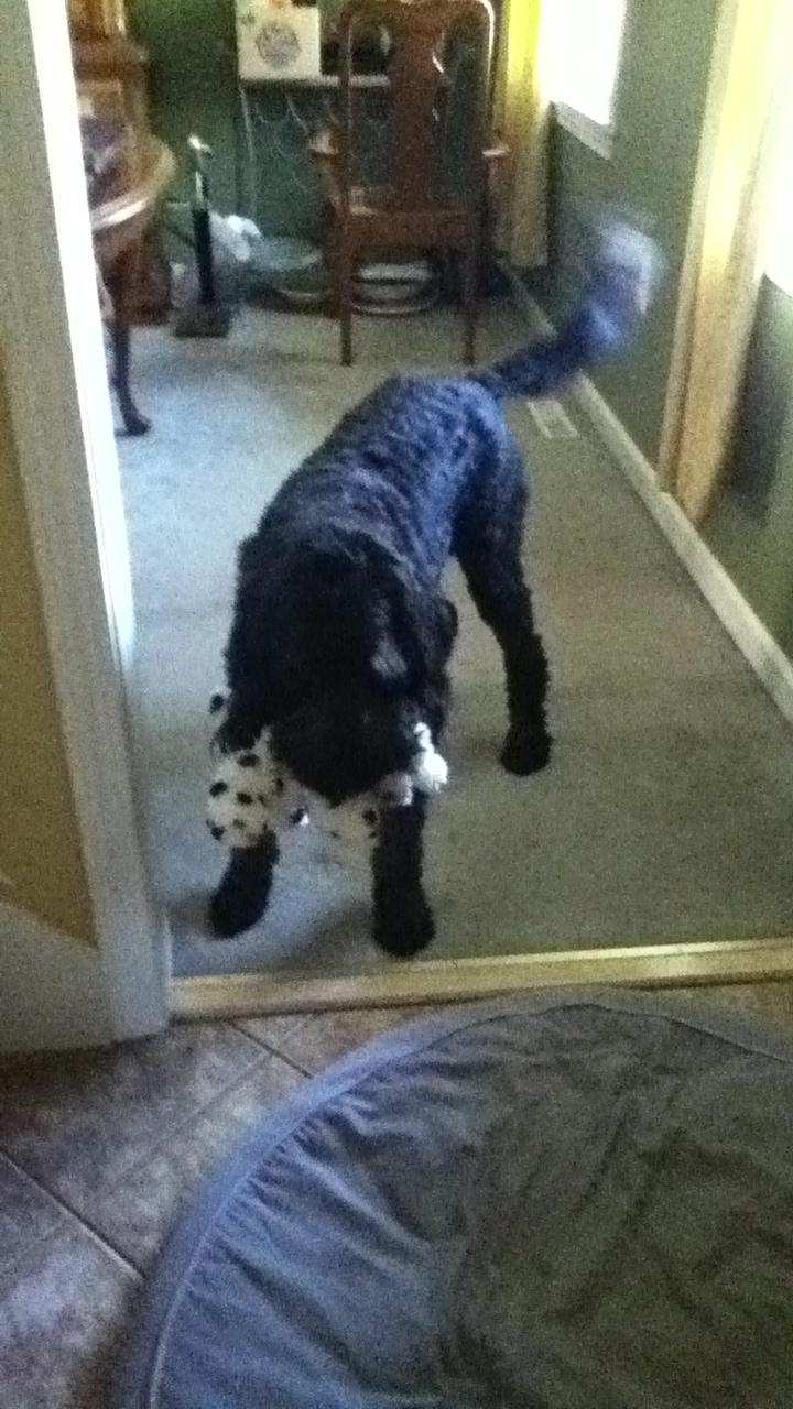 My dog bailey with her toy soooo cute: Baileys, Dogs, Toy Soooo, Toys, Maggie