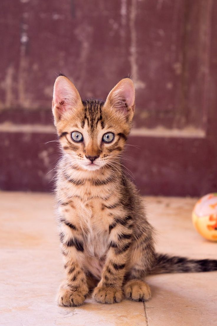 17 best Favorite Cat Breeds and Mixes images on Pinterest   Cute ...