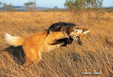 Maned wolf hunting