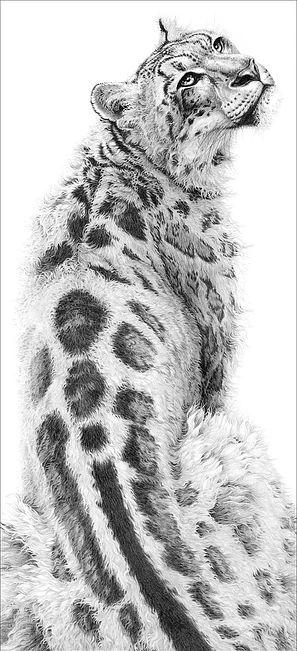 Sabu a pencil drawing of a snow leopard by wildlife artist Gary Hodges 2002