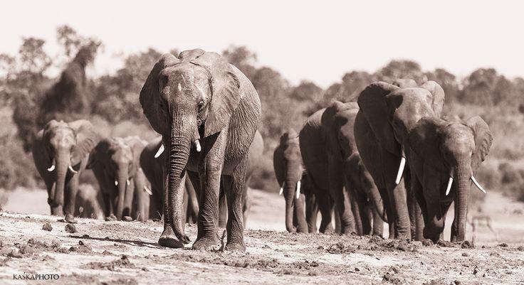 """""""Stado Słoni"""" zdjęcie Kaśka Sikora  #KaśkaSikora #KatarzynaSikora #Sikora #Slónie #stada #Safari #Afryka #Podróże #turystyka #wakacje #Parkinarodowe #chobe"""