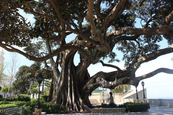 Ficus Magnolioide