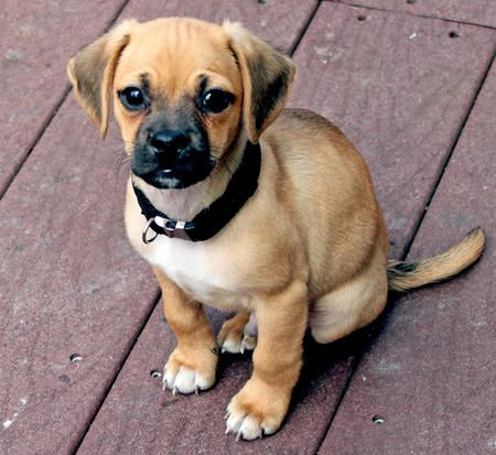 CUTE! Taken from - Google Image Result for http://cdn-www.dailypuppy.com/dog-images/tucker-the-puggle-3_57524_2011-04-12_w450.jpg