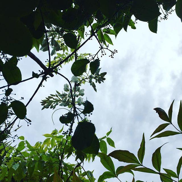 おはようございます。 葉っぱや樹のシルエット越しに見る空が好きです。そして絵を描きたくなるのであります(^ ^) #庭 #シルエット #garden #もと #もとlfukudamotoko2016/11/05 09:29:01