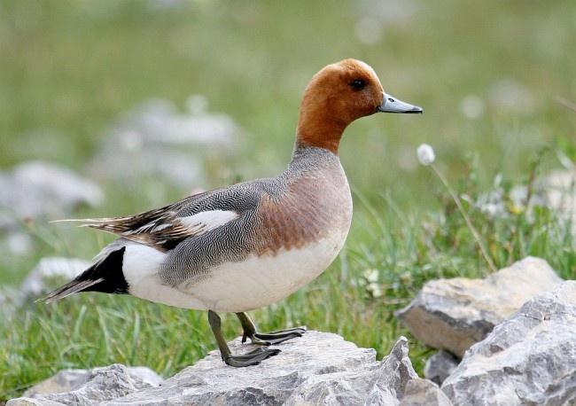 77 best British Birds images on Pinterest Birds of prey