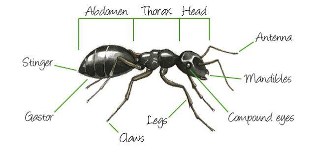 DIAGRAMS: External Anatomy Of Ants Body | Human Body Anatomy