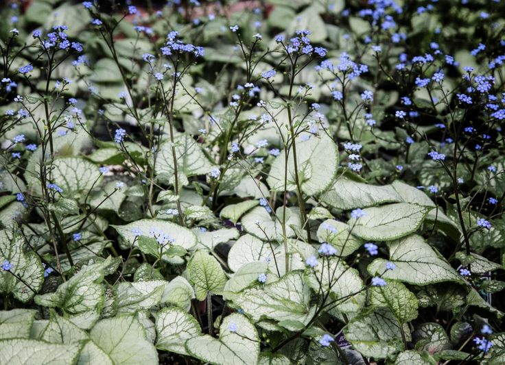 Moonlight Gardens   Tower Perennial Gardens, Brunnera U0027Looking Glassu0027 Has  Silver Foliage.