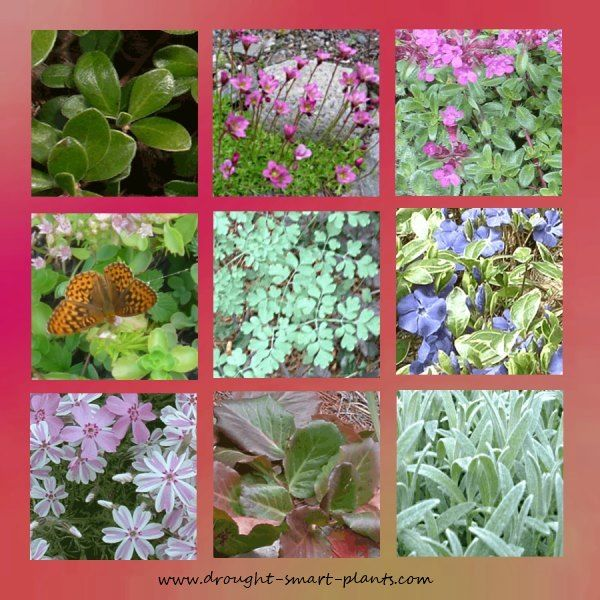 Groundcovers for xeriscaping my favorite low growing for Low growing landscape plants
