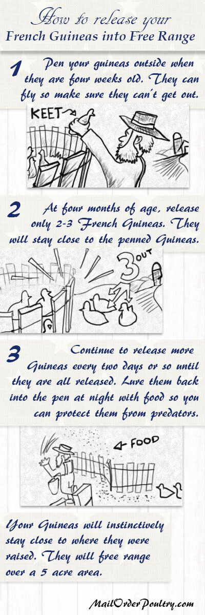 How to release your French Guinea fowl into free range. French Guineas will stay within a five acre area if they are released properly.