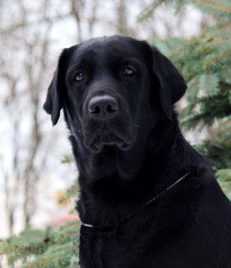 Labrador Retriever photo..... Oh my gosh, that face!!! ahhhh