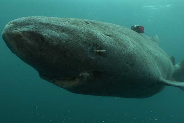 The Greenland shark is one of the slowest-moving fish ever recorded and has been found with reindeer, polar bears, and fast-moving seals in its stomach, Shiffman said. - Credit: NRK/Armin Muck.
