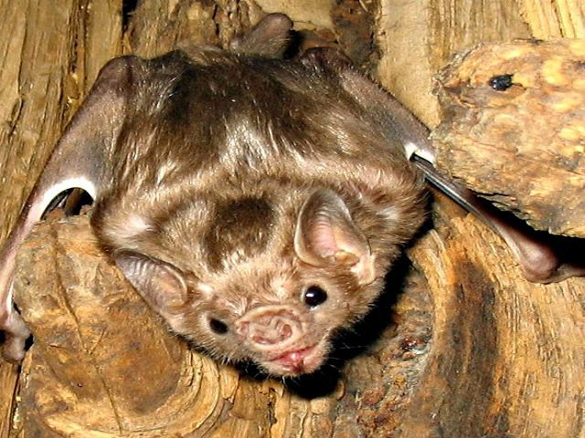 Where are vampire bats found? Vampire Bat Facts – Questions And Answers!