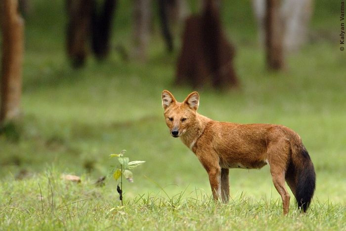 The dhole, or Asiatic Dog... Endangered. Once widespread throughout southeast Asia and Indonesia, deforestation and poaching has crippled its numbers.