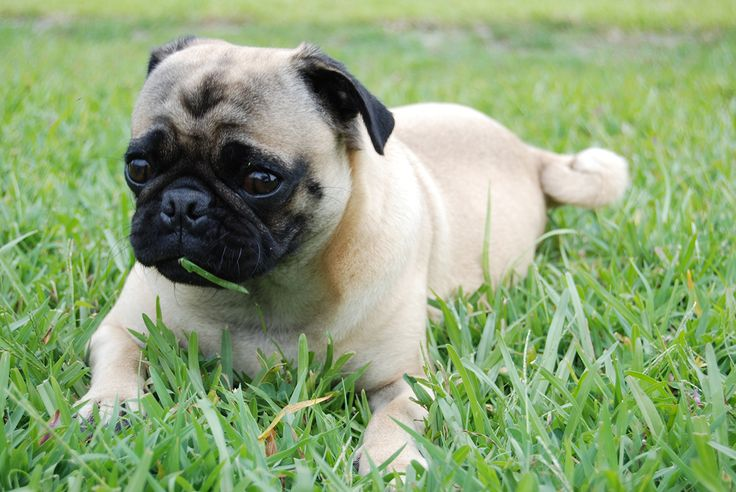 Why do Dogs Eat Grass?  No one really knows why dogs eat grass. Theories range from behavior to nutrient deficiencies to illness or simply because they like it. Read on to find out more about why your pooch prefers the green stuff.  http://naturalmedicine.co.za/index.php?option=com_content&view=article&id=13100:why-do-dogs-eat-grass&catid=2504&Itemid=621