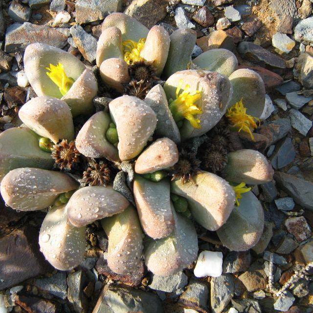 Tanqua Rock Fig (Tanquana prismatica)
