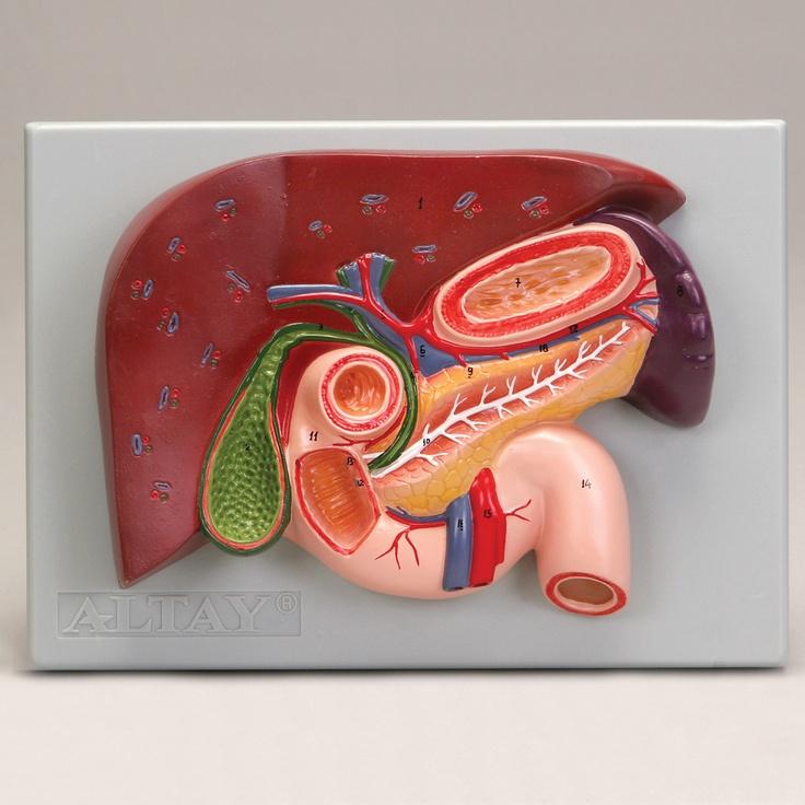 80 best images about Liver on Pinterest | Models, Portal ...