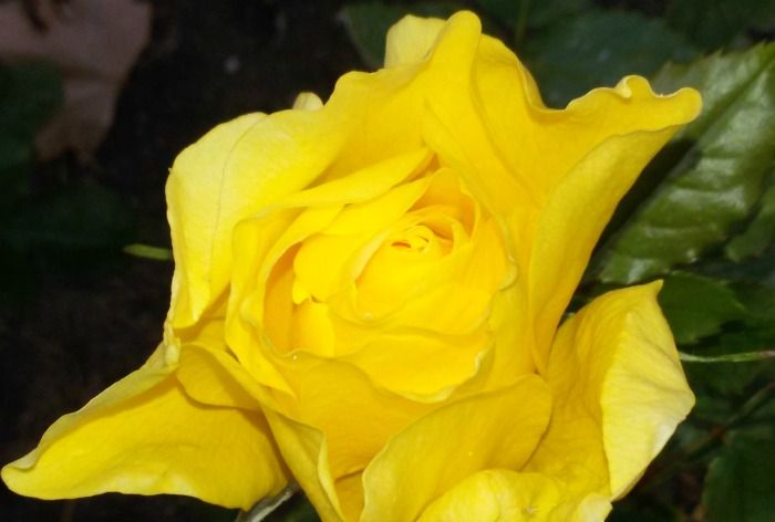 Saludosa todos desde Don Jardín empresa de jardinería y mantenimiento de jardines.Aquí os dejo un consejo de jardinería que es parte del mantenimiento de los jardines. La poda de los rosales es una labor con la cual mejoramos el aspecto…
