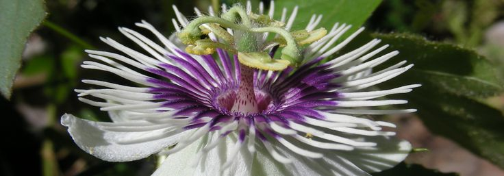Seed Bank Inventory « Passiflora Society International