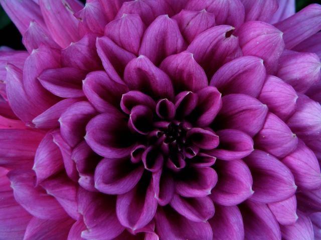 dahlias flowers | Purple Dahlia flowers picture.jpg (2 comments)