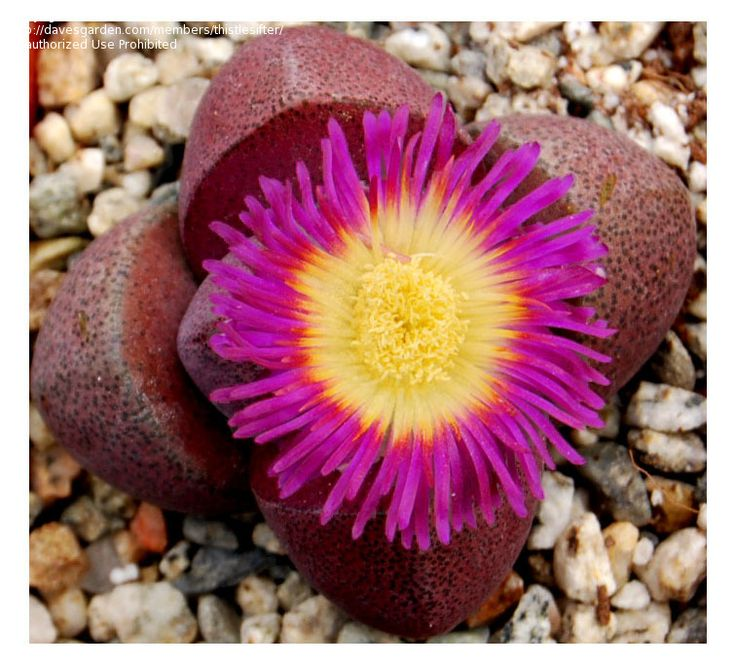 Best Succulents Lithops Conophytum Etc Images On - Japan is going mad over these tiny succulents that look like bunny ears