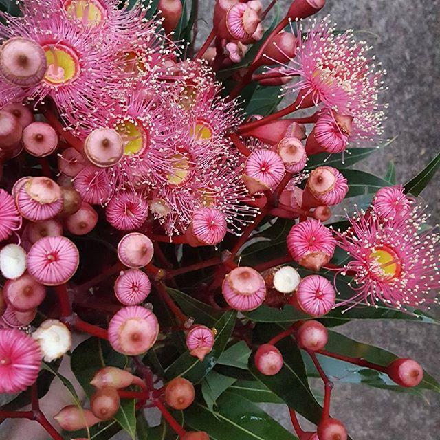 Flower Gum - Australian native fav