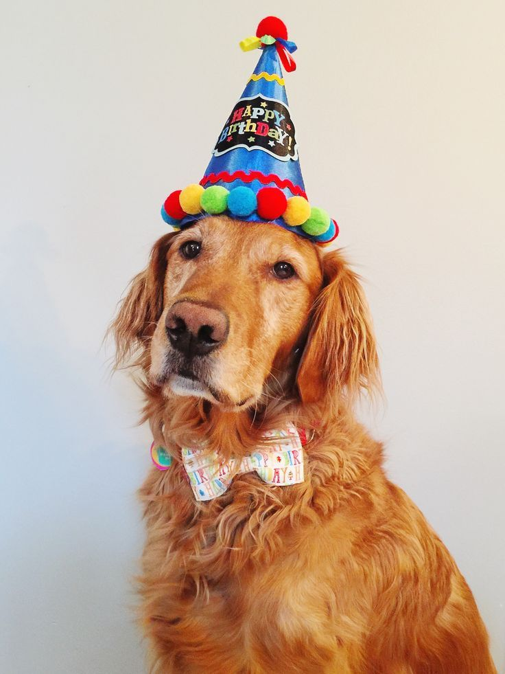 Hero Dog York Celebrating His 5th Birthday Servicedog