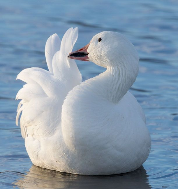 Jack Dykinga photo of a Snow Goose on the water.