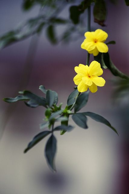 迎春花 Jasminum nudiflorum | Flickr – 相片分享!
