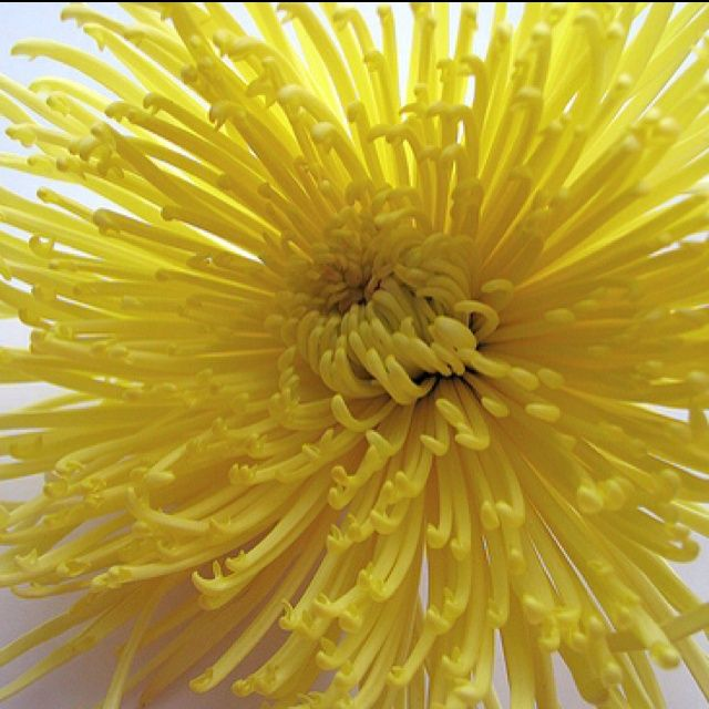 Yellow Spider Mum To Add A Pop Of Yellow That Won T Dominate The Bouquet Mana Vietne Spider Mums Chrysanthemum Seeds Chrysanthemum Flower