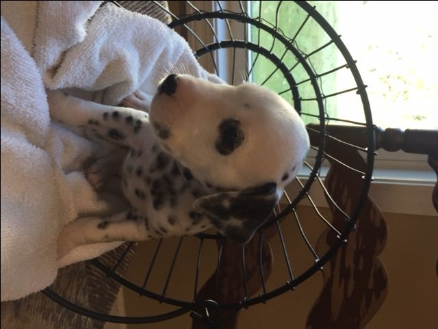 Litter of 9 Dalmatian puppies for sale in HEADLAND, AL. ADN-49476 on PuppyFinder.com Gender: Female. Age: 4 Weeks Old