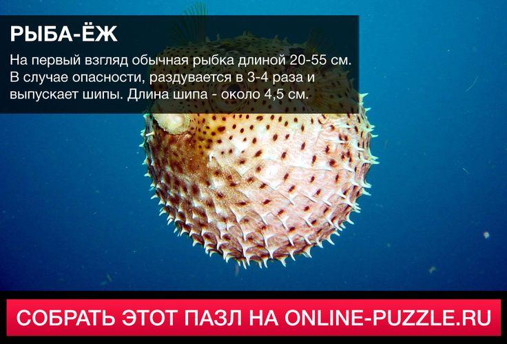 ☝  На первый взгляд обычная рыбка длиной 20-55 см. В случае опасности, раздувается в 3-4 раза и выпускает шипы. Длина шипа - около 4,5 см.