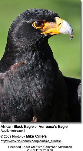 Black Eagle | Verreaux's Eagles, aka African Black Eagles or Black Eagles
