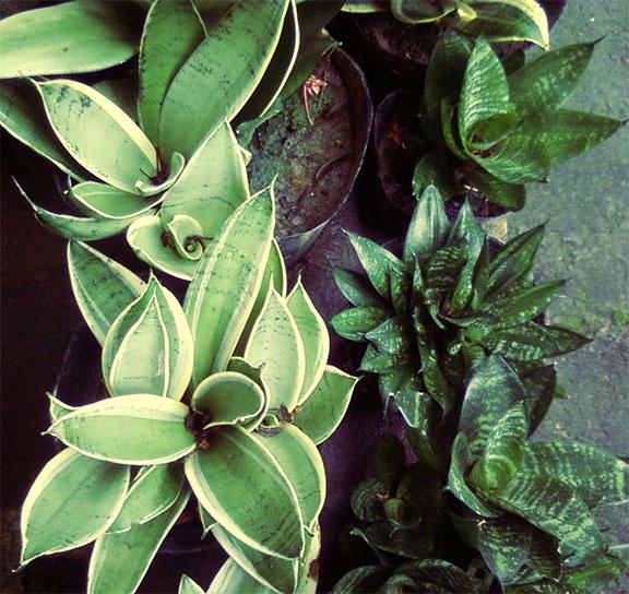 36 best images about nollzz home garden on pinterest for Philippine garden plants