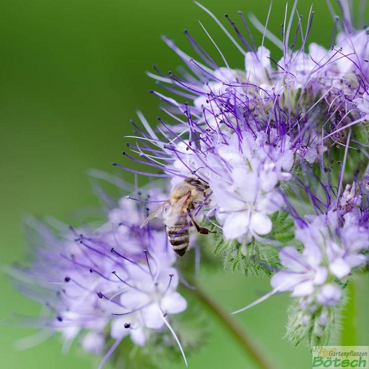 Seinem Namen entsprechend sind die #Blten des Bienenfreunds (bot. #Phacelia tanacetifolia) eine reiche Pollen- und Nektarquelle fr#Bienen, Hummeln, Sc…